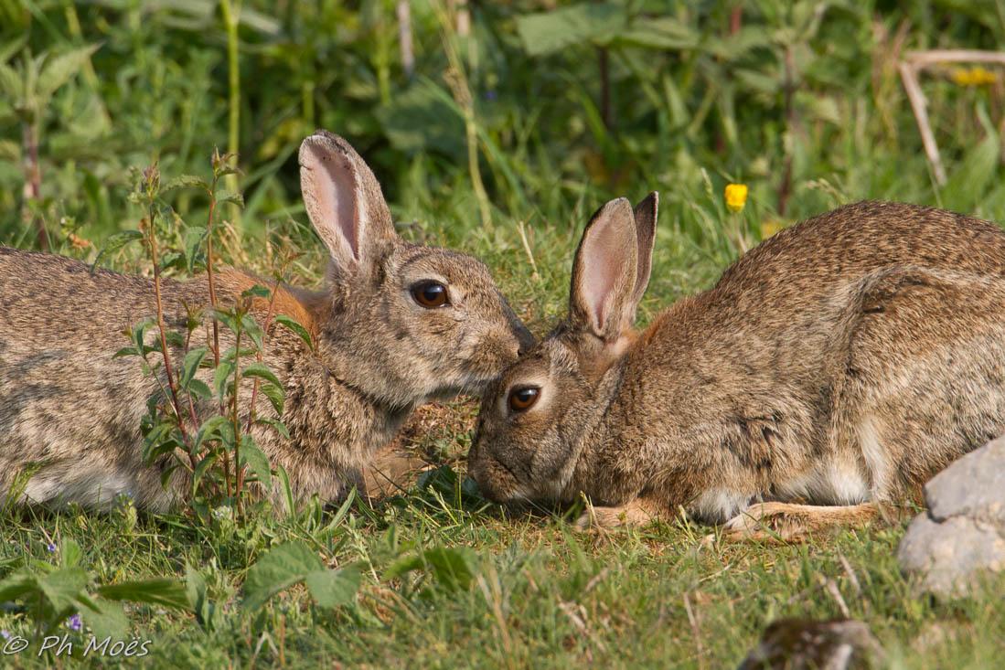 Lapin de garenne esp ces nuisibles invasives - Cuisiner un lapin de garenne ...